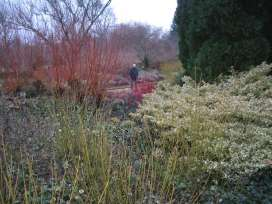 Cambridge Botanic Garden- a wonderful winter garden showing use of Cornus stem colour