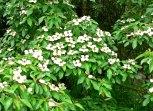 Cornus capitata- flower and form