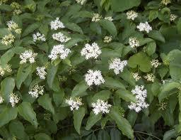 Cornus florida- flowers