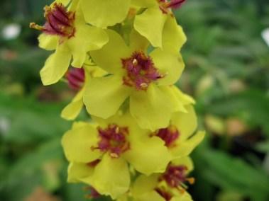 V. 'Freefolk Yellow'