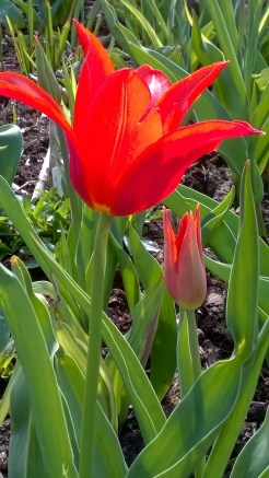 Tulips beginning their show in the double borders..