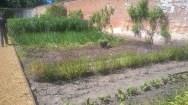 Garlic being dug...