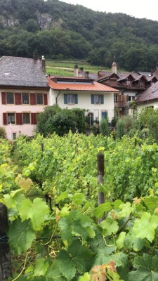 Vineyards in Twann