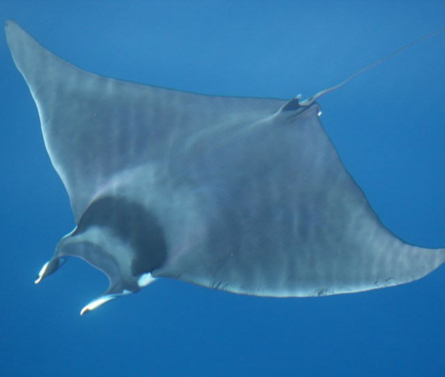 Giant Devil Ray