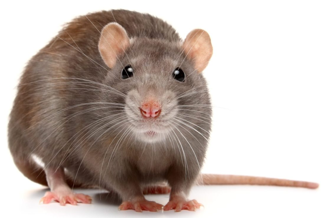Announcing the RefSeq annotation of rat mRatBN7.2!