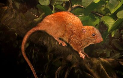 Giant tree rat species, Uromys vika, found at last