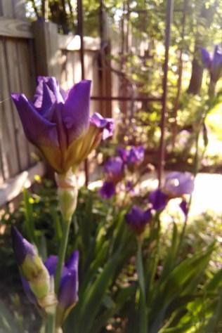 Irises early May