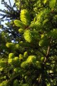 Spruce new growth