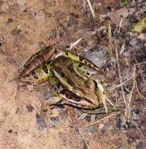 Pea Creek Leopard Frog
