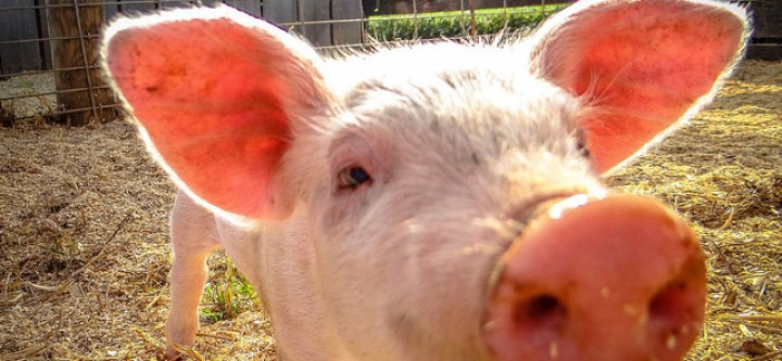 Should Pigs Be Used to Grow Human Organs?