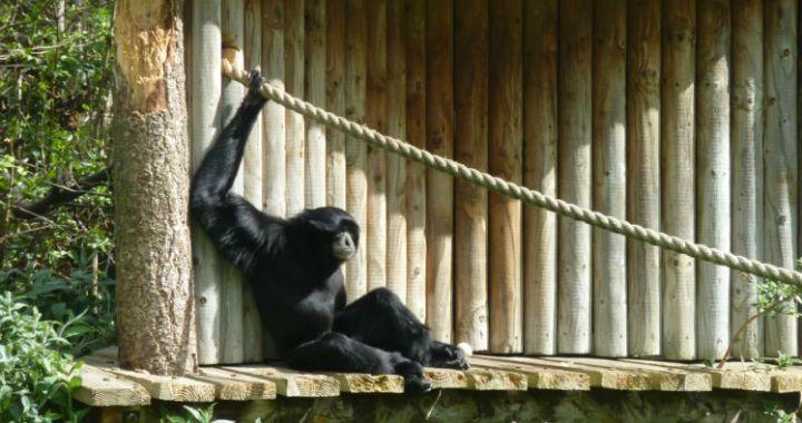 Gibbon. Photo credit: Sean MacEntee (CC BY 2.0)