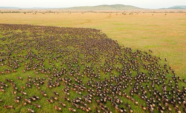 A grande migração do Serengeti – Masai Mara
