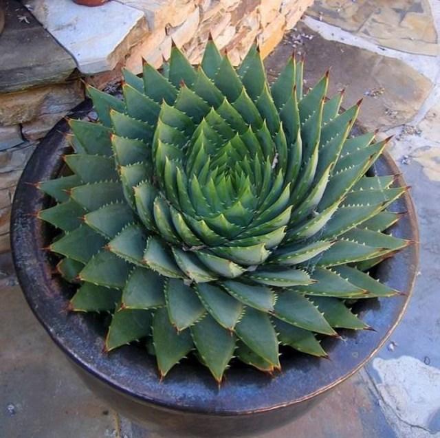 Suculenta Espiral