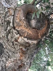 Cork tree up close!