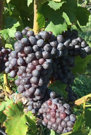 Grenache growing at Jones Von Drehle Vineyards and Winery