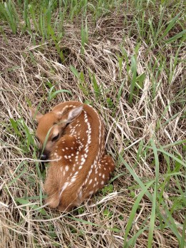 White-tailed Deer Fawn Photo Credit: Jackie Jacobson