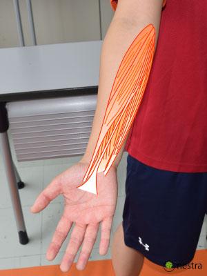 肘内側の筋肉