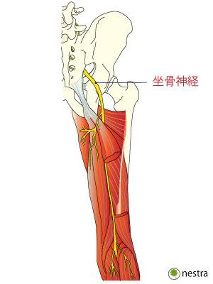 坐骨神経1