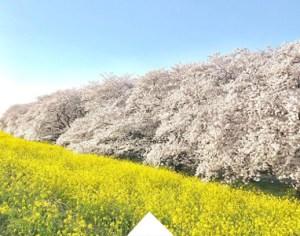 Photo of sakura feativals nearby Tokyo (Kkumagaya Sakura tsutsumi)