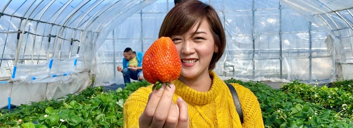 Picking Amazing Strawberries - 10 Fun Ways To Enjoy Mashiko In Spring