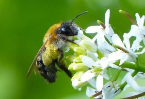 Andrena Solitary Bee