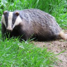 A Passion for Badgers: One of Britain's Youngest Wildlife Watchers Goes Wild Nearby