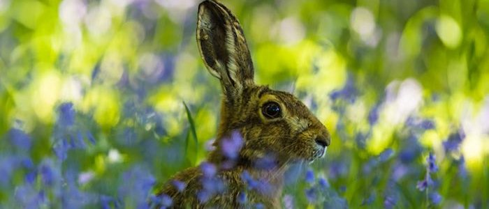 Brown hare in bluebell wood