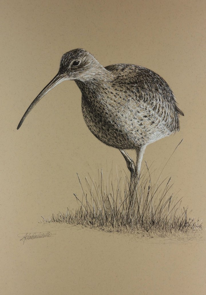 Walking curlew