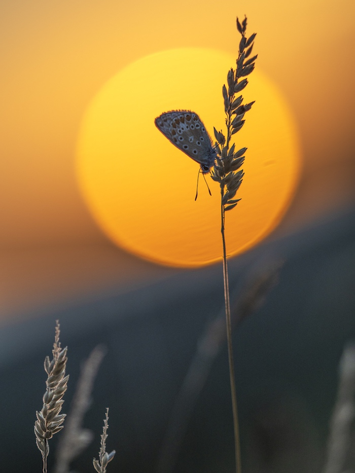 Female Common blue at sunset