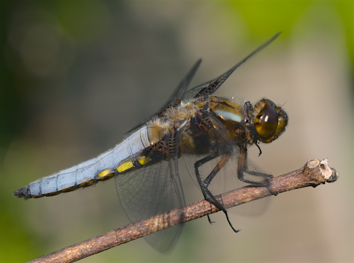 Male broad-bodied chaser dragonfly