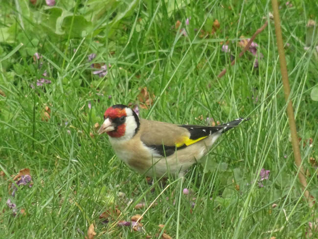 Goldfinch on lawn