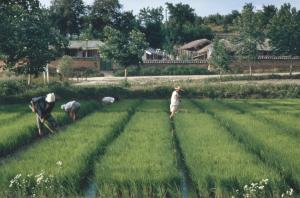 As the field of U.S. diplomacy changed, NEF expanded its work into Asia. Working at an institution-building local level, NEF projects became the building blocks for agricultural collectives. Rice farming in Chejudo (now Jeju Province), South Korea, 1962.