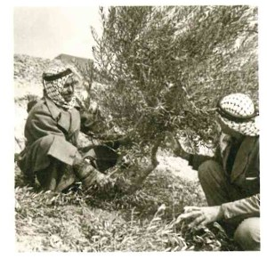 Two men planting olives as part of a Near East Foundation project in Jordan in the 1960s.