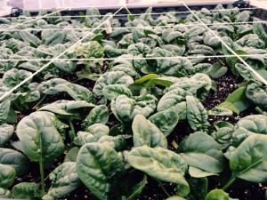 December Spinach