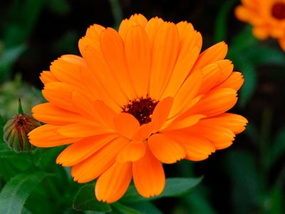 Oleado Caléndula: Calendula officinalis (caléndula) Fleurs Huile