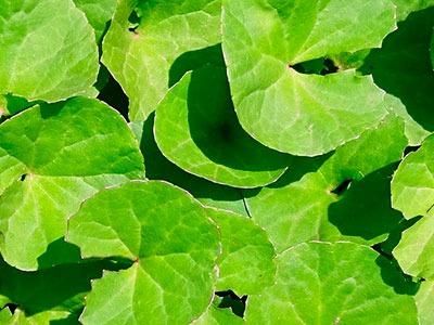 Huile essentielle de Centella Asiatica: Extrait de Centella Asiatica