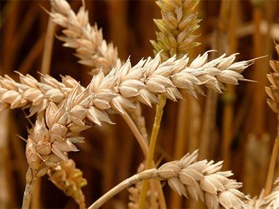 Aceite vegetal de Germen de Trigo: Triticum Vulgare (Germ) seed Oil