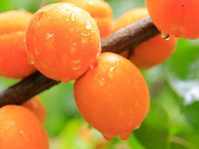 Huile végétale d'abricot: Huile de pépins de Prunus Armeniaca Raffinée