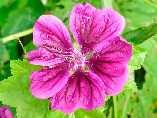 Extracto de Malva: Malva Silvestris Flower Extract