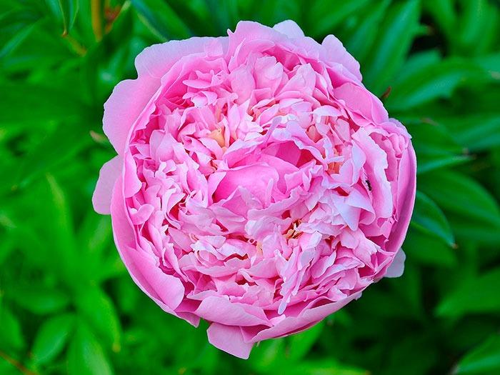 Hidrolato de Rosa Damascena: Rosa Damascena leaf wate