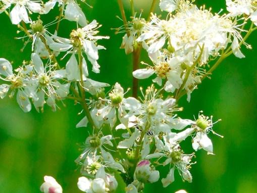 Extracto de Ulmaria: Filipendula ulmaria Extract FR