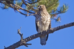 A young Red-shouldered Hawk perched up along the road and near Hellcat on the Parker River NWR in late 2010
