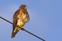 Swainson's Hawk, a sunrise shoot on my last day in Sierra Vista, AZ found this most cooperative hawk looking for a bite to eat.