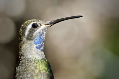 A Blue-throated Hummingbird perched near the feeders at Beatty's Ranch just osuth of Sierra Vista, AZ in 2010