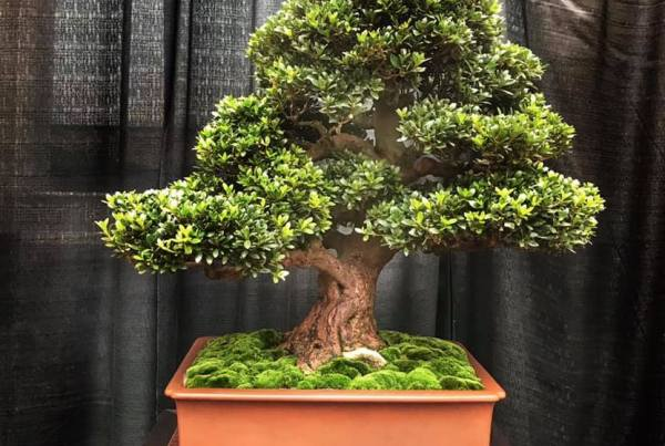 Nebraska Bonsai Society Dedicated To Advancing The Art Of Bonsai Throughout The State Of Nebraska And Surrounding Areas