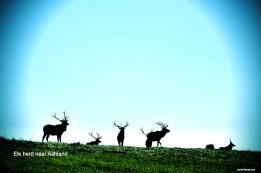 Elk herd near Ashland