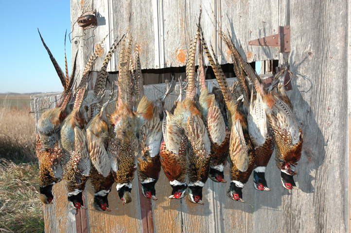 Pheasant Hunting In Nebraska - 855-472-2875