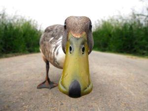 Quacks Like A Duck