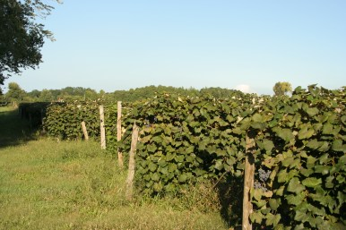 Copy of Vineyards_30