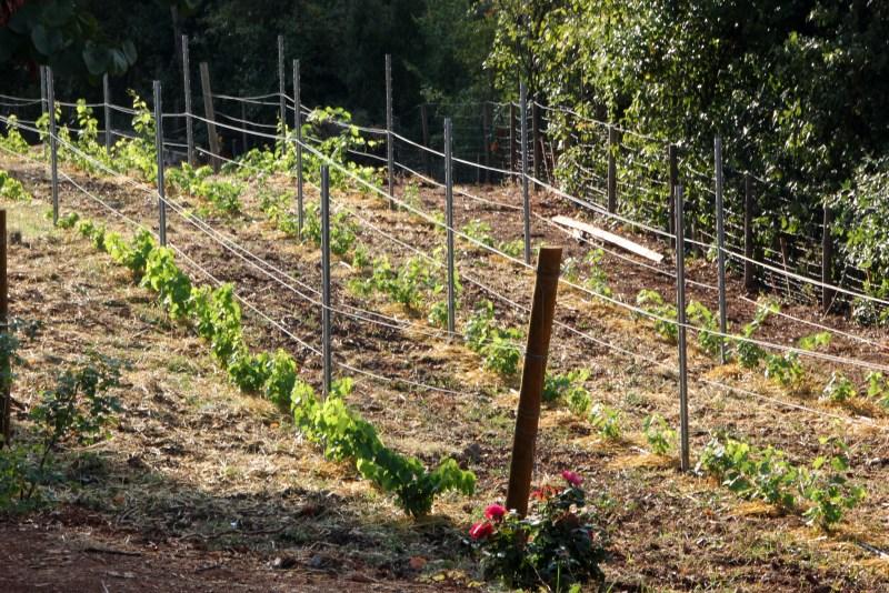 budding vineyard